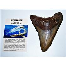 MEGALODON TOOTH Fossil SHARK 4.668 inches - Up to 25 Million Years Old #14597 8o