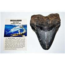 MEGALODON TOOTH Fossil SHARK 4.308 inches -Up to 25 Million Years Old #14602 11o