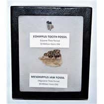 Eohippus (Horse) Tooth & Mesohippus Jaw Real Fossils +Display Box SDB #14620 13o