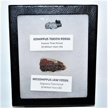 Eohippus (Horse) Tooth & Mesohippus Jaw Real Fossils +Display Box SDB #14622 13o