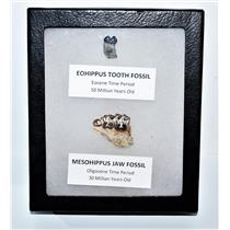 Eohippus (Horse) Tooth & Mesohippus Jaw Real Fossils +Display Box SDB #14628 13o