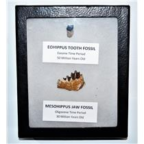 Eohippus (Horse) Tooth & Mesohippus Jaw Real Fossils +Display Box SDB #14630 13o