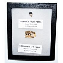 Eohippus (Horse) Tooth & Mesohippus Jaw Real Fossils Display Box LDB #14631 13o