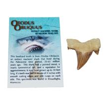 "OTODUS Shark Tooth Fossil 1 1/4 to 1 1/2 inches ""B"" 60 Million Yrs Old #11504"