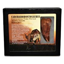 "CARCHARODONTOSAURUS Dinosaur Tooth 2.641"" Fossil African T-Rex MDB #14706 13o"