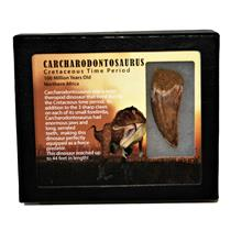 "CARCHARODONTOSAURUS Dinosaur Tooth 2.367"" Fossil African T-Rex MDB #14709 13o"