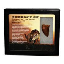 "CARCHARODONTOSAURUS Dinosaur Tooth 1.369"" Fossil African T-Rex MDB #14710 13o"