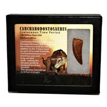 "CARCHARODONTOSAURUS Dinosaur Tooth 1.802"" Fossil African T-Rex MDB #14711 13o"