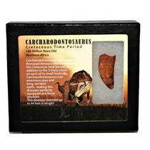 "CARCHARODONTOSAURUS Dinosaur Tooth 1.645"" Fossil African T-Rex MDB #14712 13o"