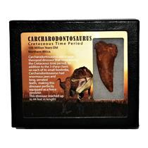 "CARCHARODONTOSAURUS Dinosaur Tooth 2.507"" Fossil African T-Rex MDB #14717 13o"