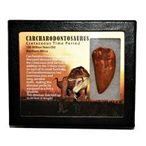 "CARCHARODONTOSAURUS Dinosaur Tooth 2.327"" Fossil African T-Rex MDB #14718 13o"