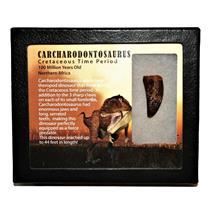 "CARCHARODONTOSAURUS Dinosaur Tooth 1.469"" Fossil African T-Rex MDB #14719 13o"