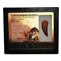 "CARCHARODONTOSAURUS Dinosaur Tooth 1.853"" Fossil African T-Rex MDB #14723 13o"