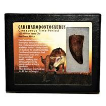 "CARCHARODONTOSAURUS Dinosaur Tooth 2.035"" Fossil African T-Rex MDB #14725 13o"