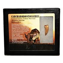 "CARCHARODONTOSAURUS Dinosaur Tooth 1.252"" Fossil African T-Rex MDB #14726 13o"