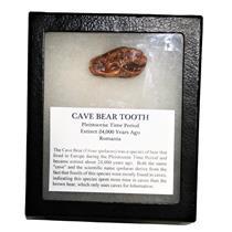 CAVE BEAR Tooth Fossil Extinct Pleistocene - w/ Display Box MDB #14883 12o