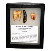 CAVE BEAR Teeth Set of 3 Fossils Extinct Pleistocene - w/ Display Box #14889 12o