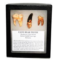 CAVE BEAR Teeth Set of 3 Fossils Extinct Pleistocene - w/ Display Box #14890 12o