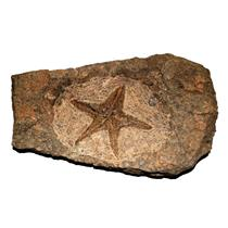 Starfish Fossil Ordovician 450 Million Years Ago Morocco #14901 56o