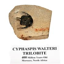 Cyphaspis Walteri TRILOBITE Fossil Morocco 400 Mil Years Old #14923 10o