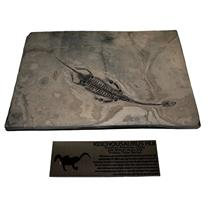Keichousaurus Hui Unique and Amazing Fossil RARE #14974 72o