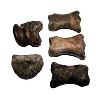Horse Fossil Hoof and Toe Bones Pleistocene 15,000 years  #14986 32o