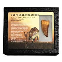 "CARCHARODONTOSAURUS Dinosaur Tooth 2.067"" Fossil African T-Rex MDB #15004 13o"