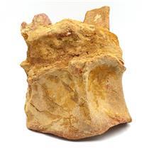 CARCHARODONTOSAURUS Dinosaur VERTEBRA African T-Rex Fossil #15092 64o