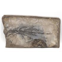 Unprepared Keichousaurus Hui Unique and Amazing Fossil RARE #15113 35o