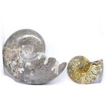 AMMONITE Fossils Lot of 2 (100-120 Mil Yrs old) Morocco & Madagascar #12374