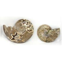 AMMONITE Fossils Lot of 2 (100-120 Mil Yrs old) Morocco & Madagascar #12376