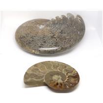 AMMONITE Fossils Lot of 2 (100-120 Mil Yrs old) Morocco & Madagascar #12373