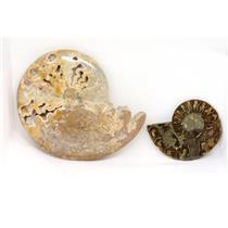 AMMONITE Fossils Lot of 2 (100-120 Mil Yrs old) Morocco & Madagascar #12375