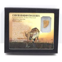 "CARCHARODONTOSAURUS Dinosaur Tooth .855"" Fossil African T-Rex MDB #15266 7o"