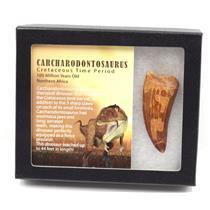 "CARCHARODONTOSAURUS Dinosaur Tooth 2.628"" Fossil African T-Rex MDB #15284 14o"