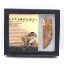 "CARCHARODONTOSAURUS Dinosaur Tooth 2.526"" Fossil African T-Rex MDB #15289 14o"