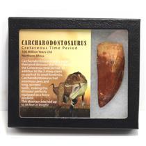 "CARCHARODONTOSAURUS Dinosaur Tooth 3.123"" Fossil African T-Rex MDB #15302 14o"
