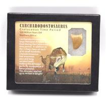 "CARCHARODONTOSAURUS Dinosaur Tooth 1.095"" Fossil African T-Rex MDB #15358 14o"