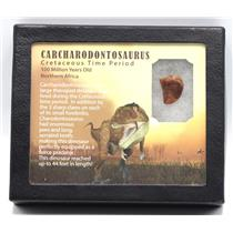 CARCHARODONTOSAURUS Dinosaur Tooth .840 Fossil African T-Rex MDB #15365 14o