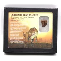 "CARCHARODONTOSAURUS Dinosaur Tooth .875"" Fossil African T-Rex MDB #15367 14o"