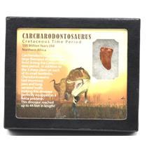 "CARCHARODONTOSAURUS Dinosaur Tooth 1.019"" Fossil African T-Rex MDB #15369 14o"