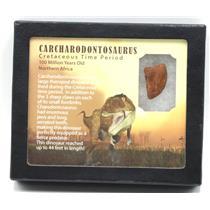 "CARCHARODONTOSAURUS Dinosaur Tooth 1.152"" Fossil African T-Rex MDB #15373 14o"
