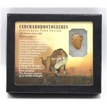 "CARCHARODONTOSAURUS Dinosaur Tooth 1.013"" Fossil African T-Rex MDB #15375 14o"