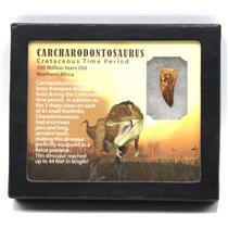 "CARCHARODONTOSAURUS Dinosaur Tooth 1.172"" Fossil African T-Rex MDB #15377 14o"