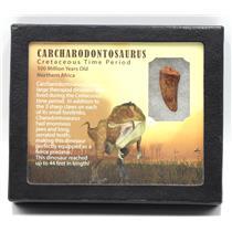 "CARCHARODONTOSAURUS Dinosaur Tooth 1.346"" Fossil African T-Rex MDB #15383 14o"