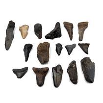 MEGALODON TEETH  Lot Fossils SHARK #15652 18o