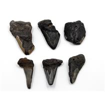 MEGALODON TEETH Lot of 6 Fossils w/6 info cards SHARK #15657 33o