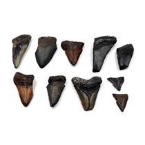 MEGALODON TEETH Lot of 10 Fossils w/10 info cards SHARK #15661 34o
