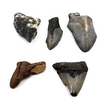 MEGALODON TEETH Lot of 5 Fossils w/5 info cards SHARK #15663 28o