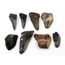 MEGALODON TEETH Lot of 8 Fossils w/8 info cards SHARK #15667 32o